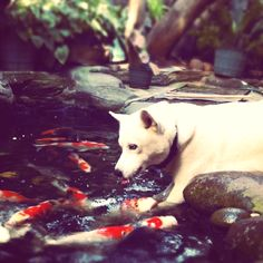 Pin by kari rundle on ponds and waterfalls funny dog for Koi pond maine coon cattery