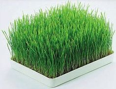How to prevent mold in my wheatgrass sprouting? — Juicing For Health