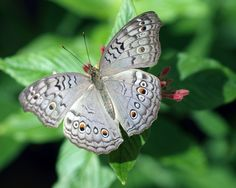 Gray Pansy     Precis atlides                © James Laurie