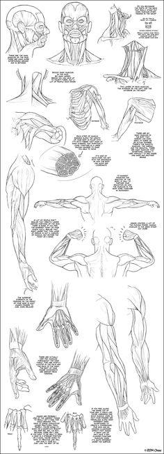AnatoRef — Anatomy Tutorials, by DerSketchie