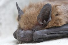 Sleepy little Bat