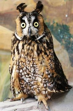Long-eared owl                                                                                                                                                                                 Mais