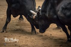 togyu u deep poster - bullfight in uwajima