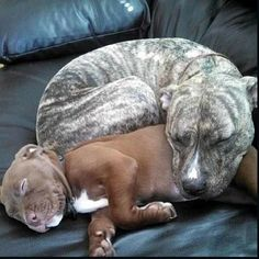 Pitbulls colors -- Click Visit link to read more #Pitbullsbully #Pitbullspuppies #Pitbullscolors Pitbull Terrier, Amstaff Terrier, Bull Terriers, Grey Pitbull, Terrier Mix, Cute Puppies, Cute Dogs, Dogs And Puppies, Doggies