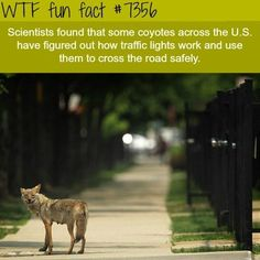 coyotes are learning how to use the traffic lights - WTF fun facts Learn how to generate unlimted free traffic to any website whenever you want Wow Facts, Wtf Fun Facts, True Facts, Funny Facts, Random Facts, Crazy Facts, Useful Facts, Uber Facts, Awesome Facts