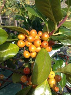 Ilex aquifolium J C van tol - lovely species of Holly adding great colour to a winter garden