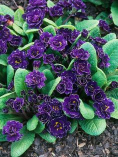 Shade plant, Primula, Gold Laced Group with Purple Flowers.