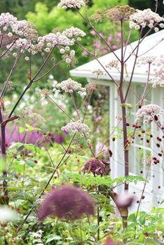 Andělika (Angelica archangelica) v kombinaci s krvavcem (Sanguisorba) tvoří ladnou, vzdušnou scenérii.