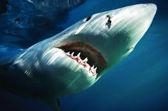 From Shark Week to Sharknado, there's no doubt we're obsessed with sharks. Here's where you can get up-close to tiger sharks, great white sharks and more. Shark Pictures, Shark Photos, Shark Images, Animal Pictures, The Great White, Great White Shark, Orcas, Shark Diving, Scuba Diving