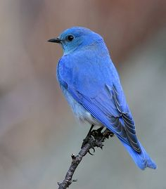 Mountain Bluebird. When you see this bird in the wild you will be struck with awe by the intense blue.