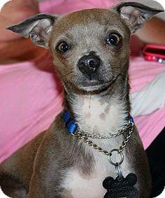 Redondo Beach, CA - Chihuahua. Meet Pitty, a dog for adoption. http://www.adoptapet.com/pet/13161194-redondo-beach-california-chihuahua