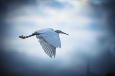 Egret by Chris Phillips on 500px