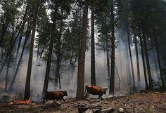forest fires near markleeville ca | Mather on August 24, 2013 near Groveland, California. The Rim Fire ...