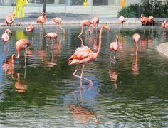 Flamingos (Papo Mena / Inverness / Florida, USA) #Canon PowerShot SX50 HS #animals #photo #nature