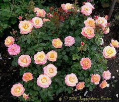 View picture of Floribunda Rose 'Day Breaker' (Rosa) at Dave's Garden. All pictures are contributed by our community. Wild Roses, Shrub Roses, Garden Pictures, Rose, Flowers, Flamingo Flower, Love Rose, Garden Workshops, Hibiscus