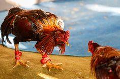 Maus-tratos, agressão, crueldade e morte. Por que a rinha de galo tem apoiadores até hoje? - GreenMe.com.br Rooster, Galo, Cancer Cure, Citrus Fruits, Death, Recipe, Animales, Baking Soda