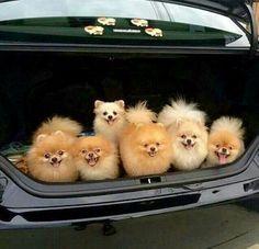Awwww it's a Pomeranian cuteness overload!!!
