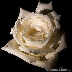 Close up of decorative white rose with black background.