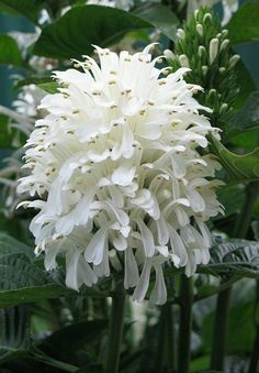 Edgeworthia chrystana flowers