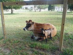 It is important to remember that fencing serves two purposes, to keep goats in and predators out! While there are many options available we chose to use 5ftnon-climb woven wire fence (4ft is...