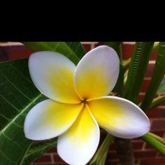 Frangipani Flower. Beautiful