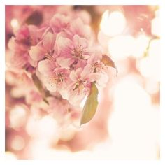Pink Lemonade 8 x 8 Fine Art Photograph pale pastel spring flower... ❤ liked on Polyvore featuring home, home decor, wall art, photo wall art, pink home decor, floral home decor, pink wall art and romantic home decor
