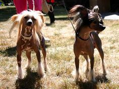 Conheça a raça Cão de Crista Chinês