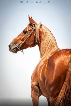 Vivid flaxen chestnut Persian Asil horse . WHAT a color and a horse!