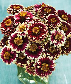 Zinnia Haageana, Color Crackle Annual Sun: Full Sun, Part Sun Height: inches Spread: inches Sowing Method: Direct Sow/Indoor Sow Bloom Duration: 12 weeks The distance from the base of the Annual Flowers, All Flowers, Growing Flowers, Amazing Flowers, Pine Cone Art, Pine Cone Crafts, Pine Cones, Nature Crafts, Fall Crafts