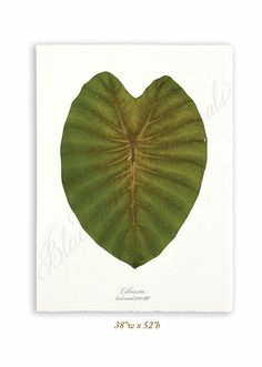 Blackwell Botanicals, Anne Blackwell Thompson | Leaves Gallery
