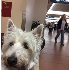 #airport selfie time! This pup is flying home on @Delta. I can't wait to sleep tonight in my own crate! :)