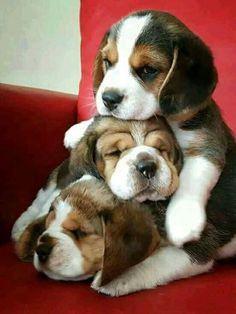The picture shows how immense the love is between the Beagle puppies. Two of them are sleeping and the other one is taking care of them. They even look healthy as proper Beagle food might be served to them. We have shared important tips to feeding Beagle. Cute Dogs And Puppies, Baby Dogs, Pet Dogs, Pets, Puppies Puppies, Cutest Dogs, Doggies, Cute Baby Animals, Funny Animals