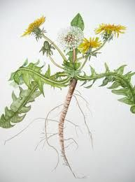 botanical illustrations dandelion - Google Search