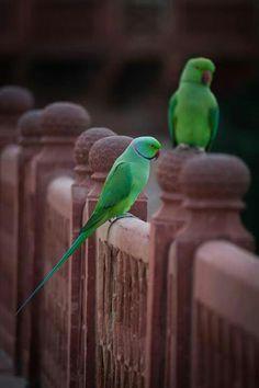 Parrots- saw these in Dubai!! so pretty