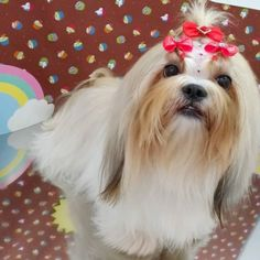 Pet Shop, Love Dogs, Dog Items, Funny Animals, Lily, Shih Tzu Dog, Hairstyle Ideas, Dog, Animales