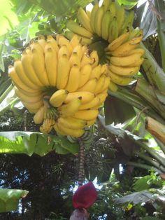 bananas ao vento