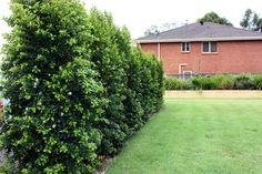 reliable plants and turf, improved, tougher, more uniform, lower maintenance varieties of landscape plants Australian Garden Design, Australian Native Garden, Small Gardens, Outdoor Gardens, Privacy Plants, Privacy Hedge, Natural Privacy Fences, Cornwall Garden, Outdoor Retreat