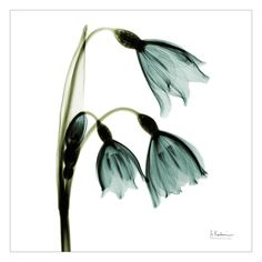 Three Tulips in Green, Albert Koetsier