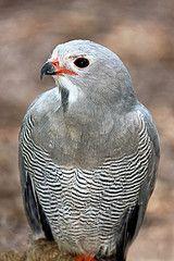 """Very RARE Bird  Though it's called a """" LIZARD BUZZARD"""""""