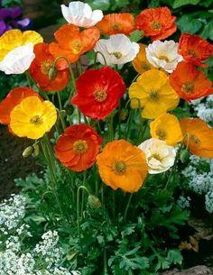 Beautiful Flowers, Flower Garden, Flowers, Pretty Flowers, Beautiful Flower Arrangements, Papaver, Summer Flowers, Planting Flowers, Spring Blooms