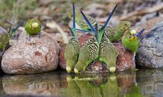 Wild budgerigars drinking at a backyard pond, Alice Springs, central Australia. Jim Oatley