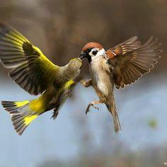 Sparrow fought the greenfinch. Greenfinch, Birds, Muslim, Photograph, Inspiration, Fotografia, Sky, Photography, Biblical Inspiration