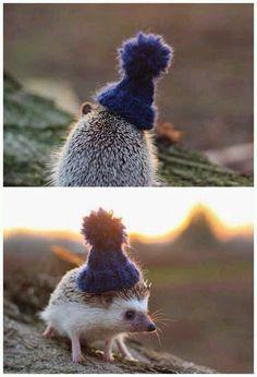 A hedgehog in a little beanie.