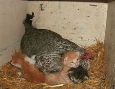 A mother hen's love doesn't only extend to kittens, but to cute little puppies, as well. just look how she's keeping both these little guys warm through the Animals And Pets, Baby Animals, Funny Animals, Cute Animals, Animal Babies, Beautiful Creatures, Animals Beautiful, Cute Little Puppies, Tier Fotos