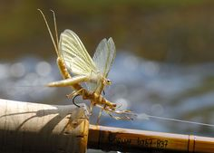 Proof positive that your mayfly pattern is realistic