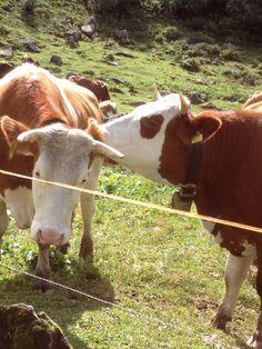 Oostenrijk, de ene koe wast het oor van de andere