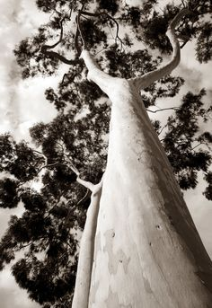 Sepia tree in San Diego