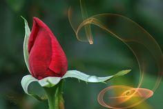 Hoy te regalaré una rosa by Jose Luis Perez, via 500px