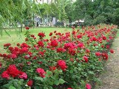 Роза парковая сорта и фото, уход