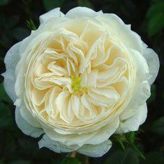 Mcmillian nurse rose -amazingly beautiful scent